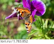 Бабочка на виоле. Стоковое фото, фотограф Струкова Светлана / Фотобанк Лори