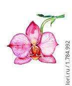 Розовая Орхидея. Стоковая иллюстрация, иллюстратор Екатерина Букреева / Фотобанк Лори