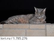 Купить «Серая кошка на черном фоне», фото № 1785276, снято 19 февраля 2009 г. (c) Лада Иванова / Фотобанк Лори