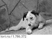 Белый Бим черные уши. Стоковое фото, фотограф Лариса Корнеева / Фотобанк Лори