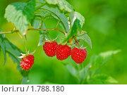 Купить «Малина обыкновенная, (Медвежья ягода) в тени. (Rubus idaeus)», эксклюзивное фото № 1788180, снято 17 июля 2009 г. (c) Алёшина Оксана / Фотобанк Лори