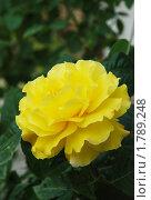 Роза желтая цветущая. Стоковое фото, фотограф Татьяна Князева / Фотобанк Лори