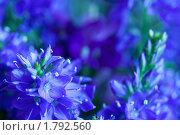 Купить «Синие цветы», фото № 1792560, снято 22 июня 2010 г. (c) Фрибус Екатерина / Фотобанк Лори