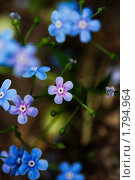 Маленькие голубые и сиреневые цветы. Стоковое фото, фотограф Мария Калиниченко / Фотобанк Лори