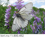 Бабочка на цветке. Стоковое фото, фотограф Зубков Борис / Фотобанк Лори