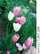 Купить «Тюльпаны», фото № 1801268, снято 29 мая 2009 г. (c) Зобков Георгий / Фотобанк Лори