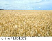 Купить «Пшеничное поле», фото № 1801372, снято 22 июня 2010 г. (c) Юрий Брыкайло / Фотобанк Лори