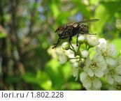 Взлет мухи с цветка яблони. Стоковое фото, фотограф Зубков Борис / Фотобанк Лори