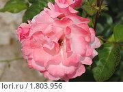 Купить «Болгарская роза», фото № 1803956, снято 12 июня 2010 г. (c) Татьяна Юни / Фотобанк Лори