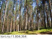 Купить «Сосновый бор», фото № 1804364, снято 28 июня 2010 г. (c) Argument / Фотобанк Лори