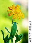 Цветок календулы с каплями на лепестках (Calendula officinalis) Стоковое фото, фотограф Андрей Андреев / Фотобанк Лори