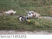 Купить «Утки на траве», фото № 1812612, снято 10 октября 2009 г. (c) Олег Хархан / Фотобанк Лори