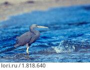 Купить «Голубая цапля ловит рыбу», фото № 1818640, снято 28 февраля 2009 г. (c) Иванова Марина / Фотобанк Лори