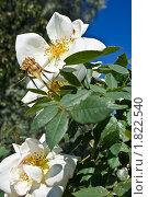 Белые цветы шиповника. Стоковое фото, фотограф Попонина Ольга / Фотобанк Лори