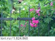 Купить «Вьющаяся роза», эксклюзивное фото № 1824860, снято 9 июля 2010 г. (c) Svet / Фотобанк Лори