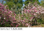 Купить «Цветущая розовая магнолия», фото № 1826688, снято 2 мая 2010 г. (c) ИВА Афонская / Фотобанк Лори