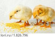 Купить «Цыплята», фото № 1826796, снято 15 мая 2010 г. (c) Василий Вишневский / Фотобанк Лори