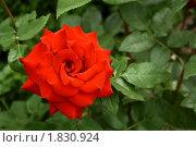 Купить «Красная роза», фото № 1830924, снято 7 июля 2010 г. (c) Надежда Мишкова / Фотобанк Лори