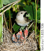 Купить «Славка садовая, Garden Warbler, Sylvia borin», фото № 1833136, снято 19 июня 2010 г. (c) Василий Вишневский / Фотобанк Лори