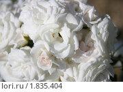 Кустовые розы. Стоковое фото, фотограф Максим Мельников / Фотобанк Лори
