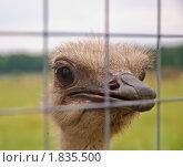 Купить «Африканский страус», эксклюзивное фото № 1835500, снято 10 июля 2010 г. (c) Алёшина Оксана / Фотобанк Лори