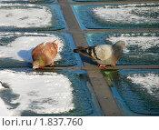 Голубки. Стоковое фото, фотограф Дарья Силич / Фотобанк Лори