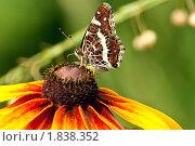 Купить «Павлиний глаз на цветке рудбекии», фото № 1838352, снято 27 июня 2019 г. (c) Ковалев Василий / Фотобанк Лори