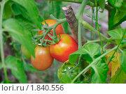 Купить «Помидоры (томаты) на грядке», эксклюзивное фото № 1840556, снято 9 июля 2010 г. (c) Алёшина Оксана / Фотобанк Лори