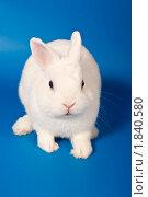 Белый кролик с голубыми глазами на синем фоне. Стоковое фото, фотограф Ирина Кожемякина / Фотобанк Лори
