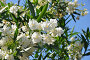Цветущий белый олеандр, фото № 1844808, снято 19 июня 2010 г. (c) Константин Бредников / Фотобанк Лори