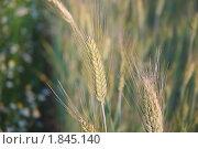 Купить «Рожь посевная (Secale cereale)», фото № 1845140, снято 5 июля 2010 г. (c) Алёшина Оксана / Фотобанк Лори