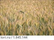 Купить «Рожь посевная (Secale cereale)», фото № 1845144, снято 5 июля 2010 г. (c) Алёшина Оксана / Фотобанк Лори