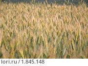 Купить «Рожь посевная (Secale cereale)», фото № 1845148, снято 5 июля 2010 г. (c) Алёшина Оксана / Фотобанк Лори