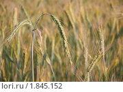 Купить «Рожь посевная (Secale cereale)», фото № 1845152, снято 5 июля 2010 г. (c) Алёшина Оксана / Фотобанк Лори
