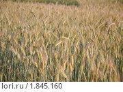 Купить «Рожь посевная (Secale cereale)», фото № 1845160, снято 5 июля 2010 г. (c) Алёшина Оксана / Фотобанк Лори