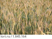 Купить «Рожь посевная (Secale cereale)», фото № 1845164, снято 5 июля 2010 г. (c) Алёшина Оксана / Фотобанк Лори