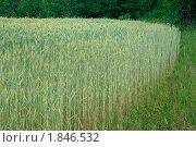 Купить «Рожь посевная (Secale cereale)», фото № 1846532, снято 5 июля 2010 г. (c) Алёшина Оксана / Фотобанк Лори