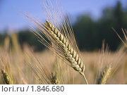 Купить «Колос ржи (Secale cereale)», фото № 1846680, снято 5 июля 2010 г. (c) Алёшина Оксана / Фотобанк Лори