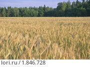 Купить «Рожь посевная (Secale cereale)», фото № 1846728, снято 5 июля 2010 г. (c) Алёшина Оксана / Фотобанк Лори