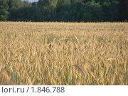 Купить «Рожь посевная (Secale cereale)», фото № 1846788, снято 5 июля 2010 г. (c) Алёшина Оксана / Фотобанк Лори