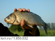Пойманная рыба. Стоковое фото, фотограф Savenkova Natalia Anatolievna / Фотобанк Лори