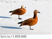 Купить «Огарь, Красная утка (Tadorna ferruginea)», фото № 1859840, снято 25 марта 2010 г. (c) Василий Вишневский / Фотобанк Лори