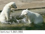 Купить «Белые медвежата играют в воде», эксклюзивное фото № 1861980, снято 8 мая 2010 г. (c) Щеголева Ольга / Фотобанк Лори