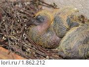 Купить «Птенец голубя», эксклюзивное фото № 1862212, снято 24 июля 2010 г. (c) Алёшина Оксана / Фотобанк Лори