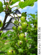 Купить «Зеленые гроздья красной смородины на фоне дачного домика», эксклюзивное фото № 1865156, снято 10 июня 2010 г. (c) lana1501 / Фотобанк Лори