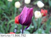 Фиолетовый тюльпан в саду. Стоковое фото, фотограф Накип Садыков / Фотобанк Лори