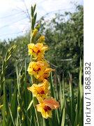 Купить «Гладиолус в саду», фото № 1868832, снято 24 июля 2010 г. (c) Gagara / Фотобанк Лори