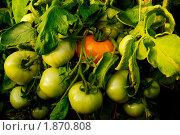 Купить «Помидоры на ветке», фото № 1870808, снято 25 июля 2010 г. (c) Наталия Ефимова / Фотобанк Лори