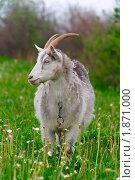 Купить «Коза на лугу», фото № 1871000, снято 16 мая 2010 г. (c) Черников Роман / Фотобанк Лори