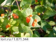 Купить «Спелые плоды жимолости каприфоль», фото № 1871344, снято 25 июля 2010 г. (c) Катерина Макарова / Фотобанк Лори